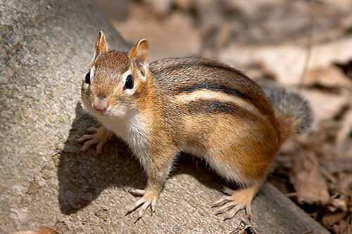illinois chipmunks
